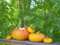 cinderella pumpkins and mmaple leaves