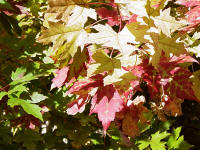 fall pictures of autumn blaze maple